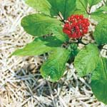 Panax Ginseng Extract Side Effects