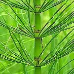 Horsetail Extract for Hair Growth