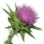 Milk Thistle Side Effects