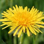 Dandelion Herb Uses in Herbal Medicine