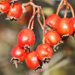 Hawthorn Berry For Blood Pressure