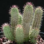 Hoodia Gordonii Safety - What Dosage Is Recommended?