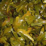 Sea Kelp Benefits and Side Effects