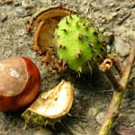 Horse Chestnut Benefits