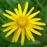 Arnica Montana Side Effects - Topical vs Oral Use!