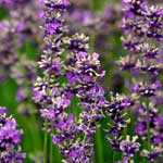 Lavender Tea Benefits